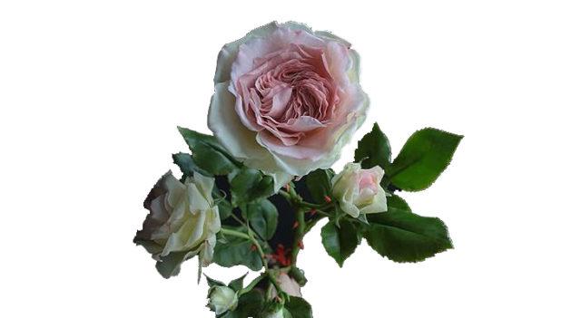 Мастер-класс: «Роза из холодного фарфора»